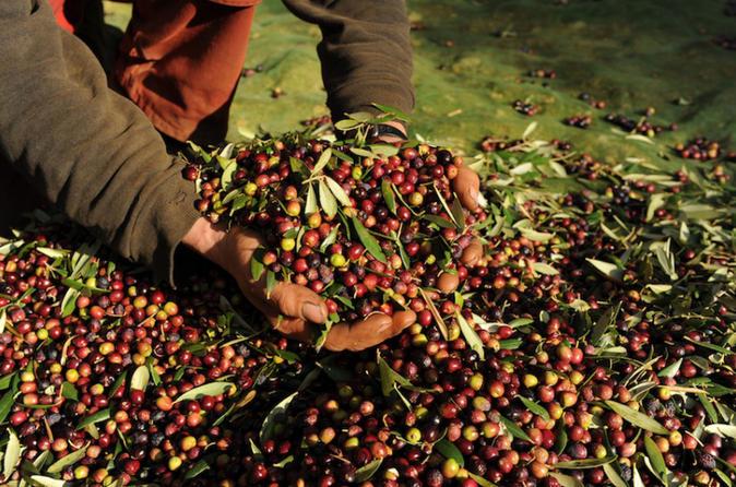 olive-oil-genuine-experience-in-tarragona-471484jpg