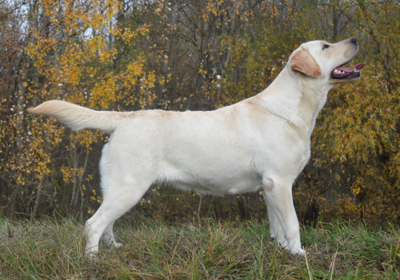 20dd18db8 V prípade záujmu o šteniatko z našej chov. stanice ma prosím kontaktujte na  tel č. 0908 580 689 alebo mailom labrador@amazinglove.sk.